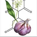 Garlic extracts being fed to livestock instead of antibiotics